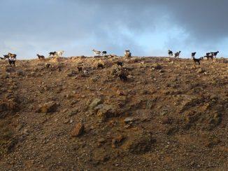 the goats on fuerteventura that inspired the goat life poem