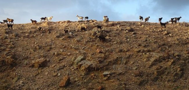 the goats on fuerteventura that inspired the goat life poem