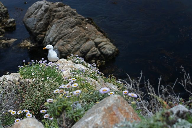 the natural surroundings of monterey california usa with rocks, wild flowers and seagull