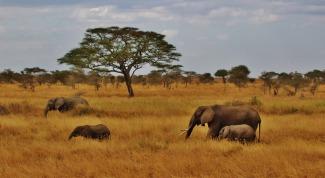 african elephants on safari