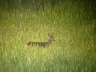 deer at lochwinnoch wetlands scotland