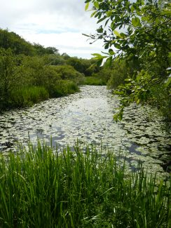 lily pads on lochwinnoch rspb site scotland