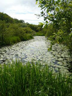 lily pads on lochwinnoch rspb site scotland