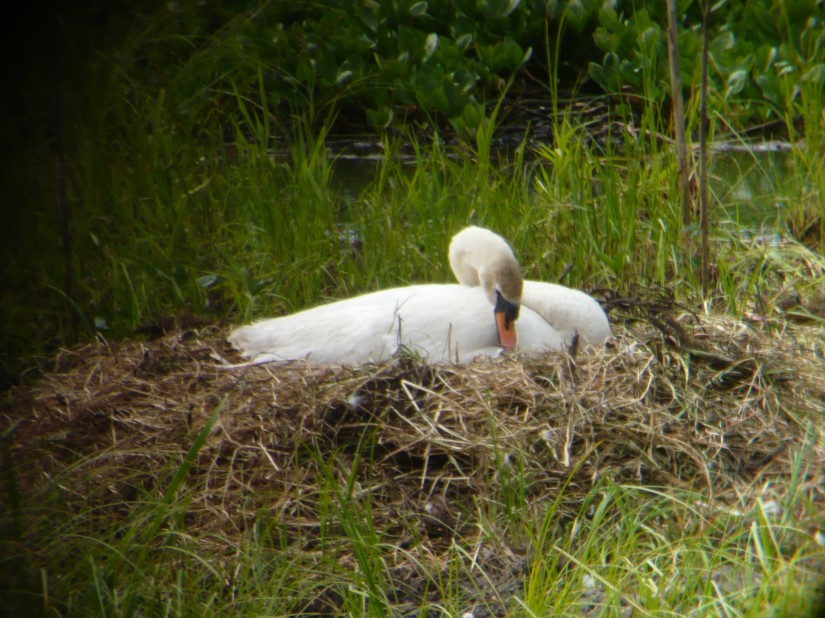 swan on nest at lochwinoch rspb wetland scotland