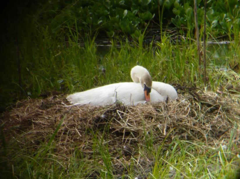 swan on nest at lochwinoch rspb wetland scotland