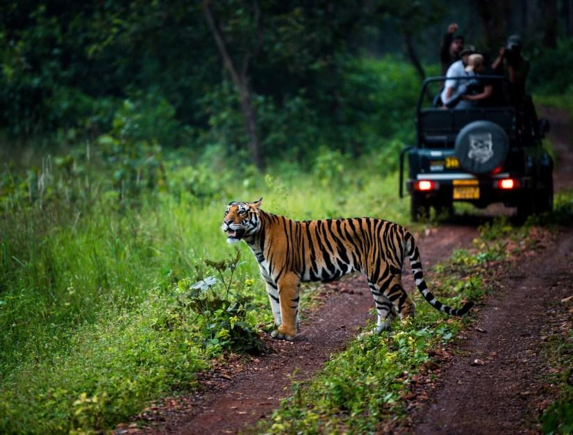 tiger in indias madhya pradesh