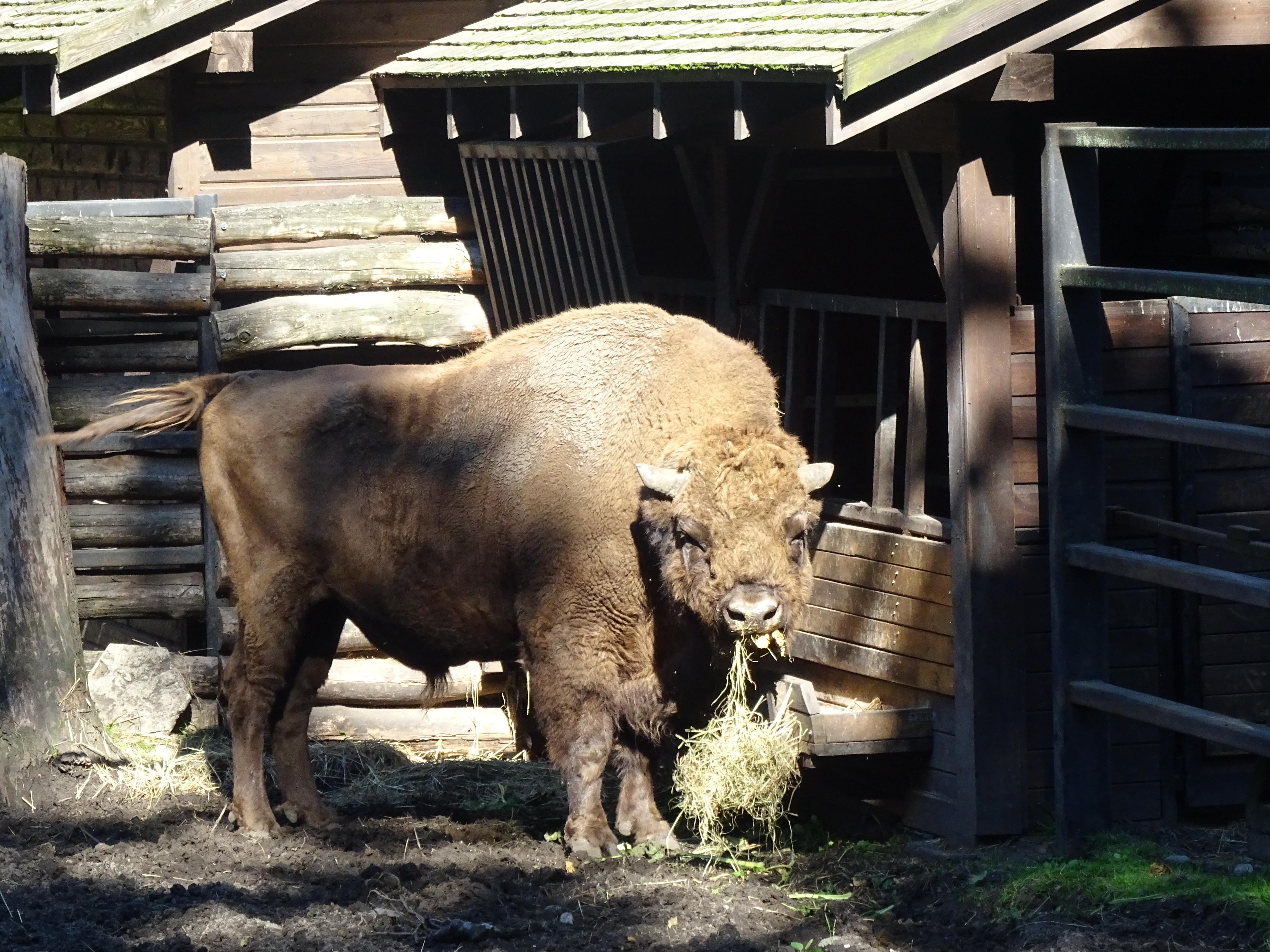 bison akcent zoo zwierzyniecki park bialystok poland