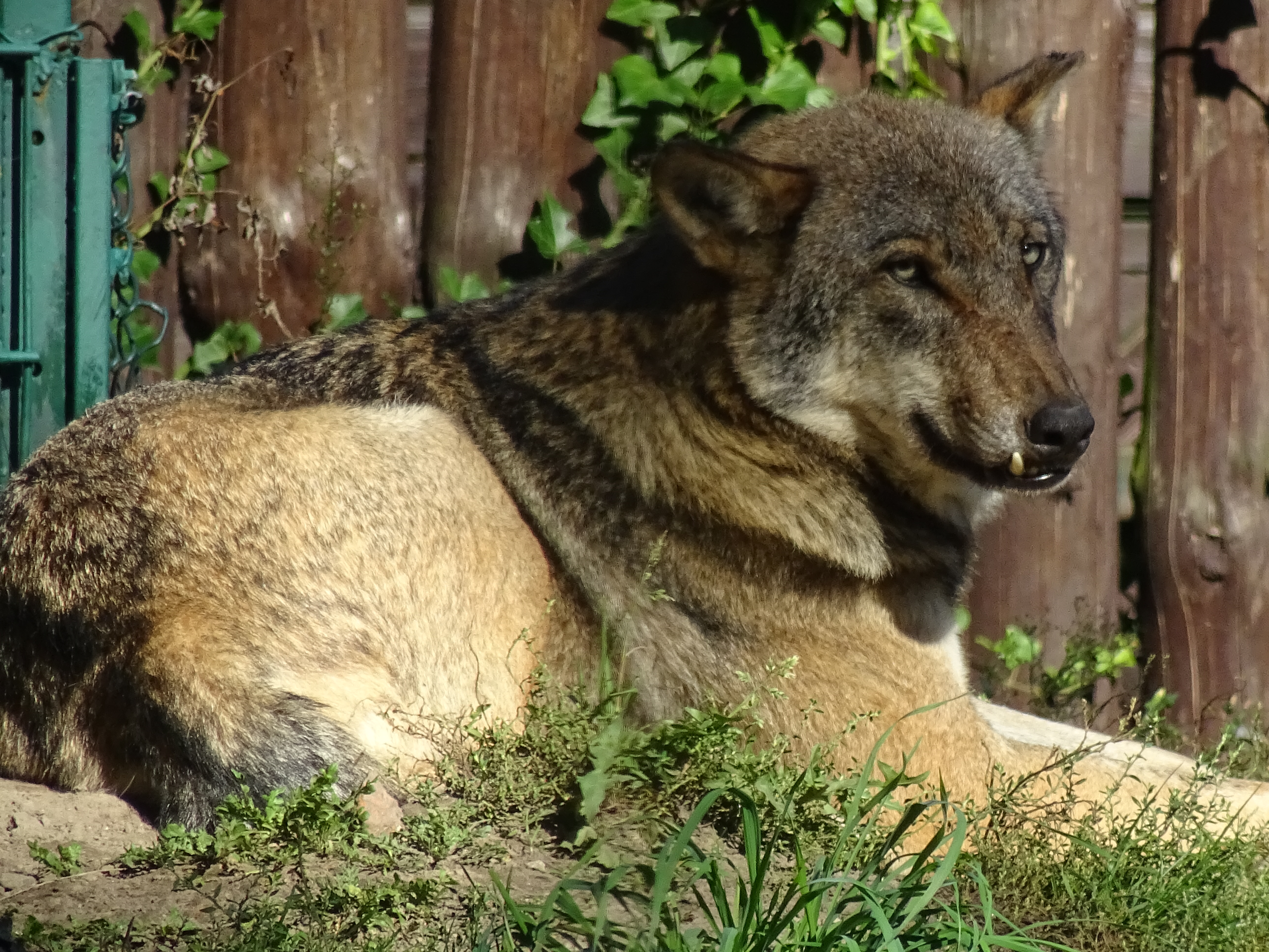 wolf akcent zoo zwierzyniecki park bialystok poland