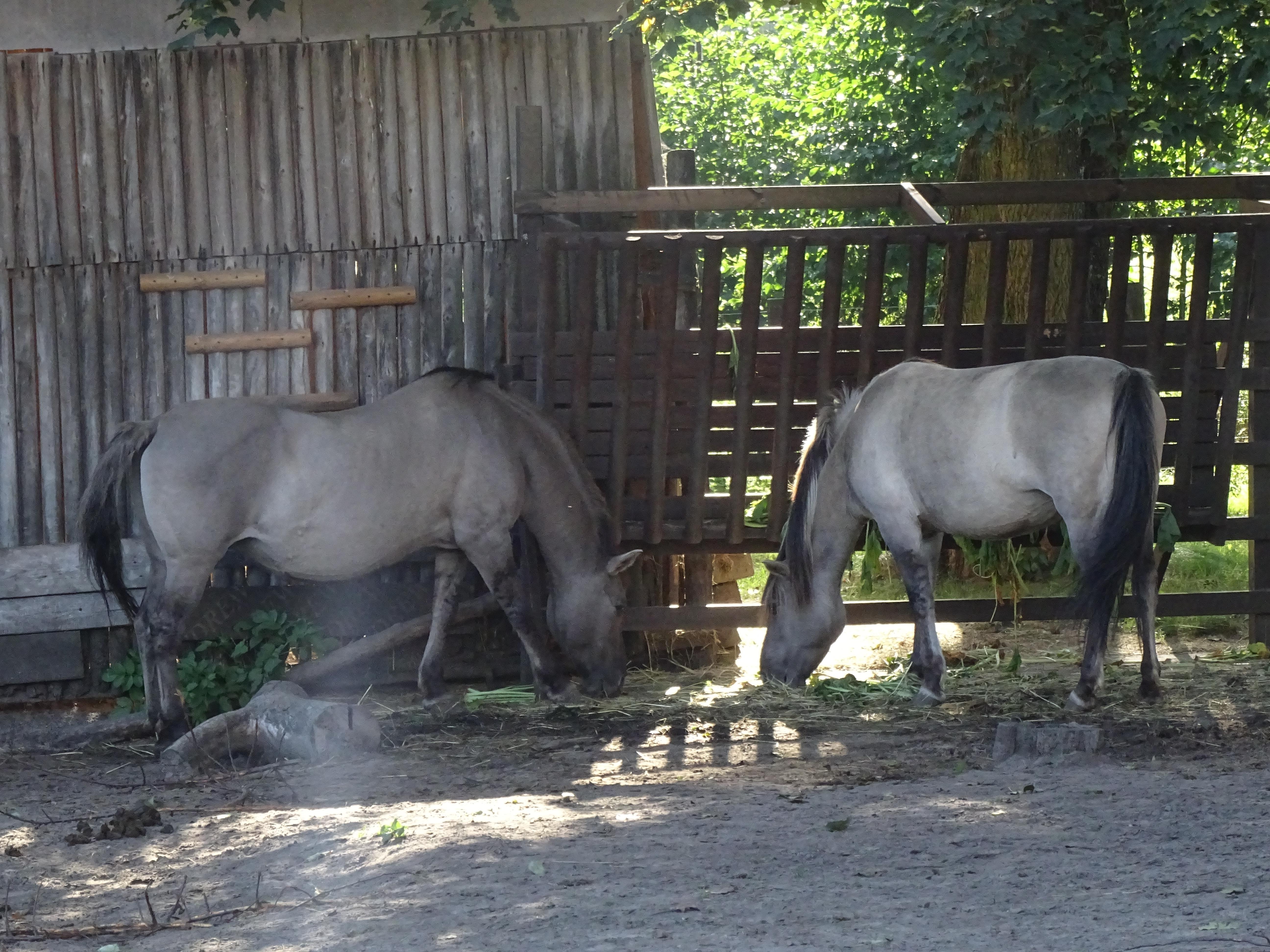 horses akcent zoo zwierzyniecki park bialystok poland