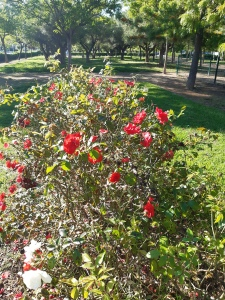 rose bush and trees in a salou park