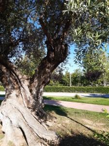 ornamental olive trees in salou