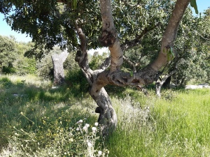 carob and olive trees